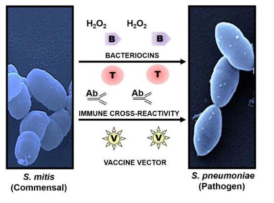 Illustrasjon av hvordan vennligsinnet bakterie beskytter mot sykdomsfremkallende bakterie.