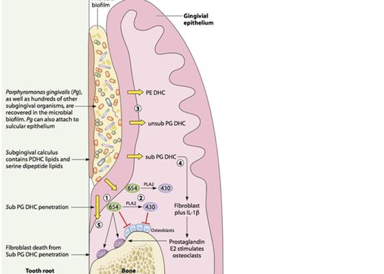 Figuren viser fettstoffer som trenger inn i tannkjøttet