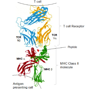 he T cell receptor – MHC Class II with a peptide interaction is schematically shown.